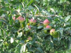 Apfelbaum beschneiden