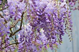 Blauregen ist eine schnellwachsende Kletterpflanze
