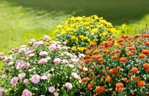 Chrysanthemenrost bekämpfen