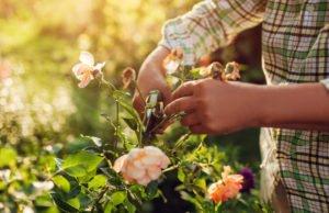 einmalblühende Rosen schneiden