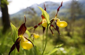 Gartenorchidee pflanzen