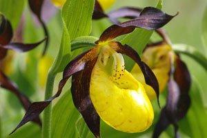 Beliebteste Gartenorchidee ist der Frauenschuh