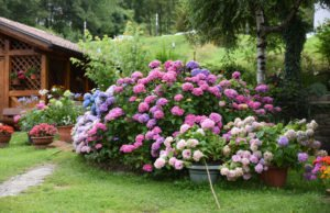 Hortensien Farbe ändern