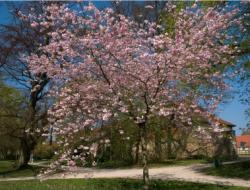 Kirschbäume richtig verschneiden