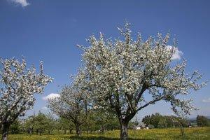 Obstbäume lassen sich im Frühjahr am besten veredeln