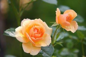 Öfterblühende Rosen brauchen einen Rückschnitt