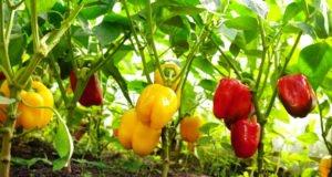 Paprika Früchte