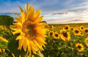 Sonnenblumen Aussaat Pflege