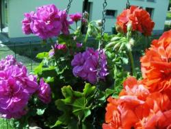 winterharte geranien pflanzen das sollten sie beachten. Black Bedroom Furniture Sets. Home Design Ideas
