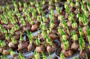 Frühlings-Blumenzwiebeln nicht ausgraben