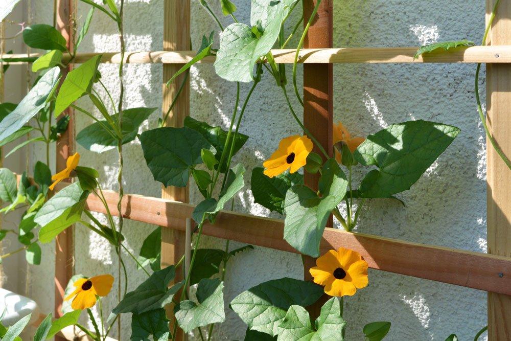 Schlingpflanzen Rankpflanzen Unterschied