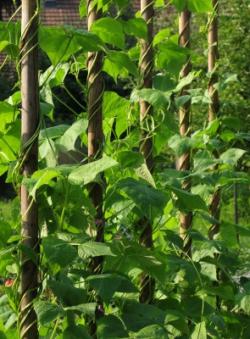 Anbau von Stangenbohnen