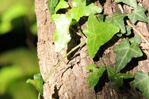 Kletterpflanzen werden in Rankpflanzen und Schlingpflanzen unterteilt