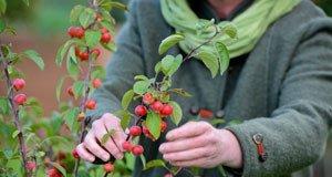 Zierapfelbaum Früchte