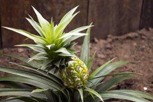 Eine Ananas lässt sich einfach ziehen