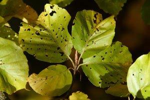 Frostspanner fressen Blätter und Blüten an