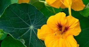 Kapuzinerkresse in voller Blüte
