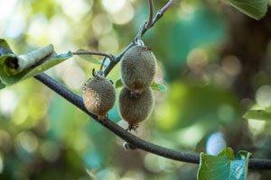 Wenn der Kiwi nicht blüht, kann das mehrere Ursachen haben