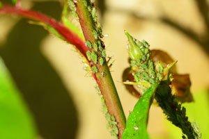Zigarettenasche hilft gegen Blattläuse