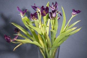 Wenn Zwiebelblumen verwelken