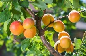 Aprikosenbaum