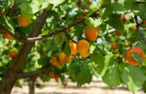 Aprikosenbaum im Garten