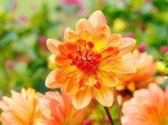 Pflege und Pflanzzeit von Dahlien