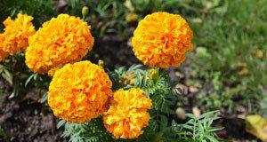 Fadenwürmer im Garten – Tagetes hilft