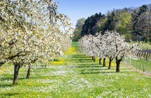 Befruchtung von Obstbäumen