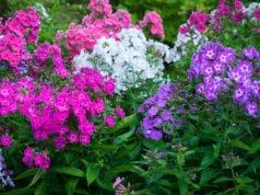 Phlox im Garten