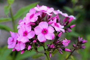 Phlox – Eine sehr anspruchslose Pflanze