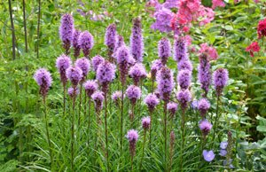 Prachtscharte – Die Liatris bringt die Prärie in den Garten