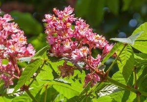 Die Strauch-Rosskastanie für den Garten