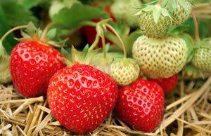 Erdbeeren Standort Tipps
