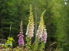 Fingerhut Pflanze Trick Blüte