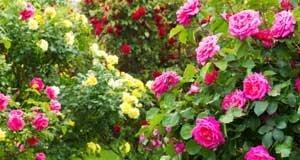 Rose Hochstamm