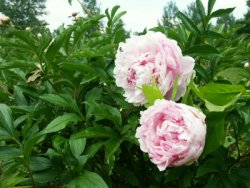 pfingstrosen richtig pflanzen. Black Bedroom Furniture Sets. Home Design Ideas
