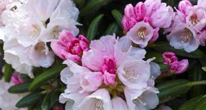 Rhododendron Pflegetipps