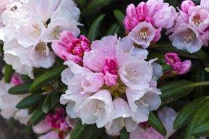tipps zur pflege des rhododendron. Black Bedroom Furniture Sets. Home Design Ideas
