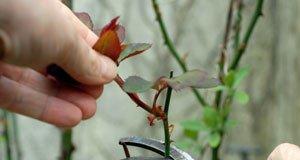 Rosen pflegen Tipps