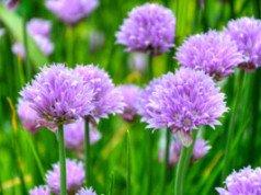 Schnittlauch Blumen Beet pflanzen Tipps