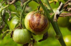 Braunfäulebei Tomaten