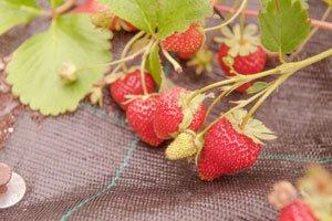 Erdbeeren mulchen Tipps