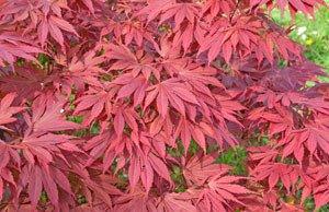 Fächerahorn pflanzen Pflege Tipps