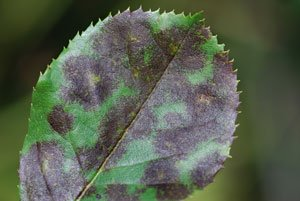 Krankheiten Rose Sternrußtau