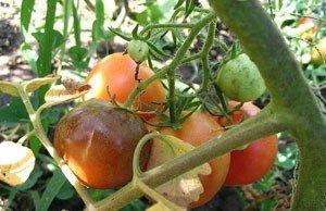 Krautfäule oder auch Braunfäule bei Tomaten