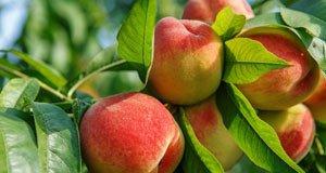 Pfirsiche Garten Tipps