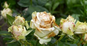Rosen Krankheiten
