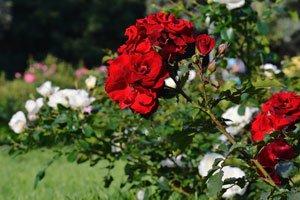 Rosen richtig pflanzen Tipps
