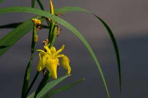 Wasserschwertlilie